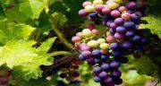 انگور و یبوست ؛ خاصیت درمانی انگور برای مشکل یبوست