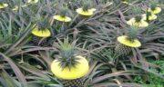 باغ آناناس ؛ در چه مناطقی با چه آب و هوایی می توان آناناس پرورش داد