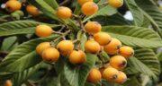 برگ ازگیل برای سرفه ؛ درست کردن دمنوش برای کاهش سرفه با برگ میوه ازگیل