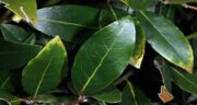 برگ بو برای غذا ؛ نحوه صحیح استفاده از برگ بو برای طعم دار کردن غذا