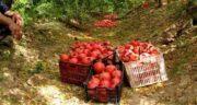 بهترین انار دنیا مال کجاست ؛ برترین کشور تولید کننده انار کدام کشور و شهر است
