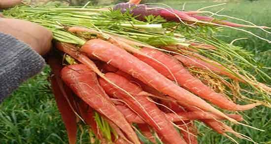 خواص آب هویج و یبوست ؛ درمان یبوست و هضم راحت تر غذا