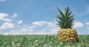 خواص آناناس و سرماخوردگی