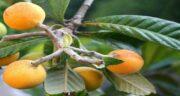 خواص ازگیل زرد ؛ مهمترین خاصیت میوه ازگیل زرد برای سلامت