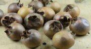 خواص ازگیل سیاه ؛ مهمترین خاصیت درمانی ازگیل سیاه چیست