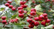 خواص ازگیل قرمز ؛ میوه ازگیل قرمز چه تفاوتی با ازگیل زرد دارد؟