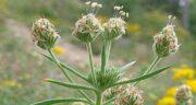 خواص اسفرزه در طب سنتی ؛ اسفرزه به عنوان سم زدا طبیعی برای هضم غذا