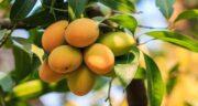 خواص انبه در طب سنتی ؛ فواید و خاصیت میوه انبه از نظر بزرگان