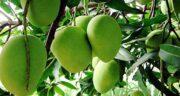 خواص انبه سبز ؛ فواید فوق العاده میوه انبه سبز برای بدن