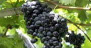 خواص انگور برای مردان ؛ فواید بی نظیر انگور برای سلامتی مردان
