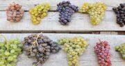 خواص انگور برای کبد ؛ فواید خوردن میوه انگور برای ناراحتی های کبدی