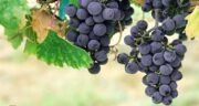 خواص انگور در طب سنتی ؛ سخنان امام رضا (ع) در مورد فواید انگور
