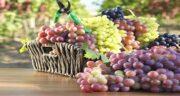 خواص انگور در لاغری ؛ مقابله با اضافه وزن و چاقی با خوردن انگور