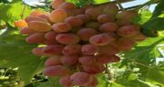 خواص انگور عسگری ؛ فواید بسیار زیاد انگور عسگری برای سرطان