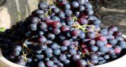 خواص انگور یاقوتی برای کودکان ؛ انگور میوه ای سرشار از خاصیت برای بچه ها