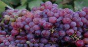 خواص انگور یاقوتی ؛ میوه ای خوشمزه و پر از خاصیت به نام انگور یاقوتی
