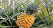 خواص برگ آناناس