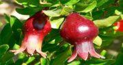 خواص برگ انار در طب سنتی ؛ چای برگ انار مقوی معده و اشتها آور
