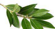 خواص برگ بو در بارداری ؛ فواید برگ بو و مصرف برای دوره ۳ ماهه قبل و بعد بارداری