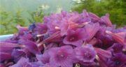 خواص رازیانه و گل گاوزبان