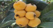خواص هسته ازگیل زرد ؛ فواید خوردن هسته میوه ازگیل زرد برای سلامتی