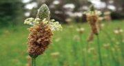 خواص گیاه اسفرزه ؛ بررسی فواید گیاه اسفرزه برای درمان بیماری ها