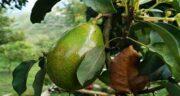 درخت آووکادو در شمال ایران ؛ آیا می توان در شمال ایران درخت آووکادو پرورش داد