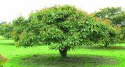 درخت آووکادو ؛ آیا می دانید درخت میوه آووکادو چه مشخصات ظاهری دارد؟