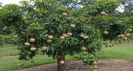 درخت انبه ؛ آموزش پرورش و کاشت درخت میوه انبه