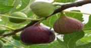 درخت انجیر ؛ همه چیز درباره درخت انجیر و مکان های قابل پرورش