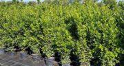 درخت برگ بو ؛ درخت برگ بو در چه شرایط آب و هوایی پرورش می یابد