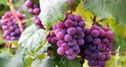 طبع انگور یاقوتی ؛ بررسی خواص انگور برای سلامتی و طبع انگور یاقوتی