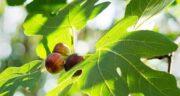 طریقه مصرف برگ انجیر ؛ خاصیت درمانی برگ انجیر و روش مصرف