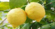 طریقه گرفتن آب لیمو ترش ؛ راه های گرفتن و ابزار گرفتن آب لیمو ترش
