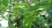 عکس میوه آووکادو در ایران