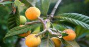 فواید ازگیل زرد ؛ بررسی خاصیت های فراوان میوه ازگیل زرد برای درمان بیماری ها