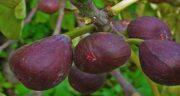 فواید انجیر سیاه ؛ خوردن میوه انجیر سیاه چه خواصی برای بدن دارد