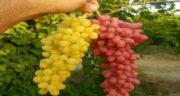 فواید انگور زرد ؛ خاصیت های خوردن انگور زرد برای تقویت ایمنی بدن
