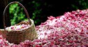 فواید گلاب برای واژن ؛ مصرف گلاب برای درمان عفونت و ناراحتی واژن