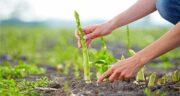 مارچوبه و قیمت آن ؛ آیا می دانید قیمت گیاه مارچوبه در بازار چقدر است؟