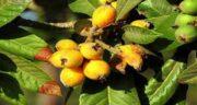 مضرات ازگیل زرد ؛ مهمترین خواص و مضرات ازگیل زرد برای سلامتی بدن