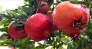 مضرات انار برای کودکان ؛ عوارضی که خوردن انار برای بچه ها دارد