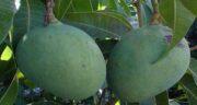 مضرات انبه سبز ؛ نکاتی مهم درباره عوارض خوردن انبه سبز و نارس