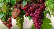 مضرات انگور برای دیابت ؛ آیا خوردن انگور تازه برای افراد دیابتی ضرر دارد
