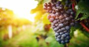 مضرات انگور یاقوتی ؛ هشدارهایی برای مصرف انگور یاقوتی