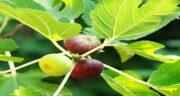 مضرات برگ انجیر ؛ جوشانده برگ انجیر چه ضرری برای بدن دارد