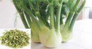 مضرات رازیانه چیست ؛ عوارض و خواص مصرف گیاه رازیانه برای بدن