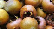 مضرات میوه ازگیل ؛ خوردن میوه ازگیل و خطراتی که برای بدن دارد