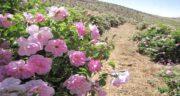 مضرات گلاب برای مردان ؛ چرا استفاده از گلاب برای مردان ضرر دارد