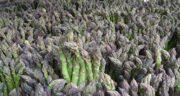 مضرات گیاه مارچوبه ؛ مصرف گیاه مارچوبه چه خطری برای سلامتی دارد